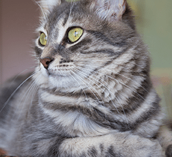 striped-gray-cat